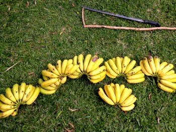 Bananas Right off the Tree