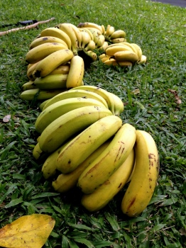 Banana Bunches on the Grass